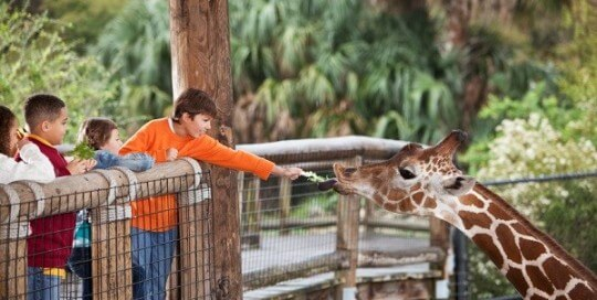 Multi-ethnic group of children at zoo.  Boy (10 years) feeding giraffe.